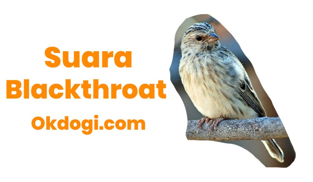 suara blackthroat