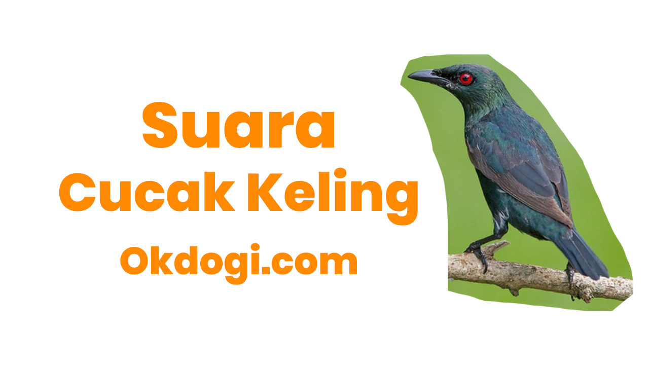 Download Suara Cucak Keling Gacor + Betina Mp3, MANTUL!