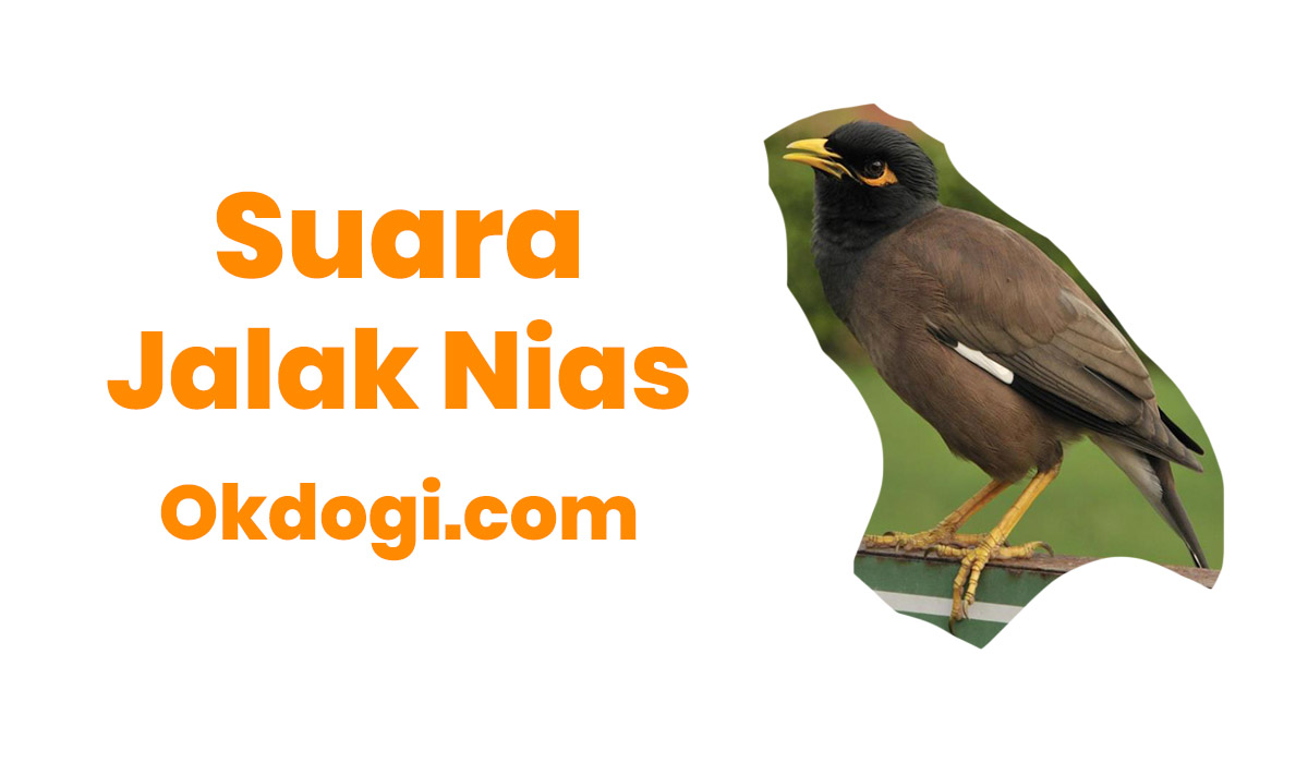 Download Suara Jalak Nias Mp3 Full Isian Gacor Asli