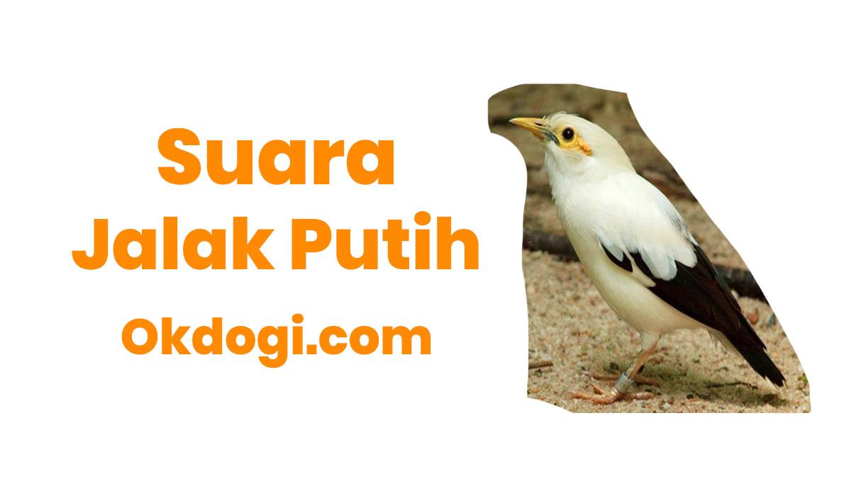 Download Suara Kicau Jalak Putih Mp3 Gacor Full Isian