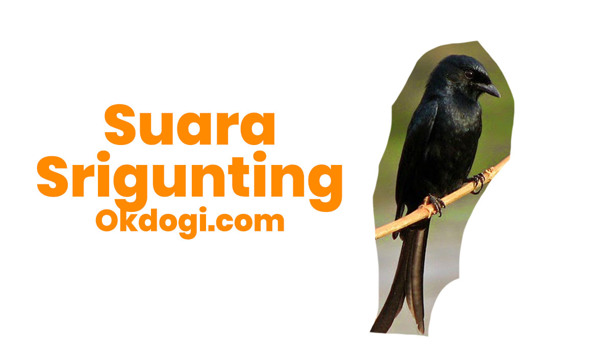 Download Suara Srigunting Gacor + Betina Mp3 Durasi Panjang