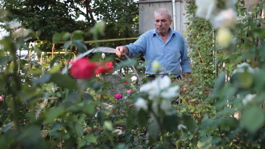 jadwal penyiraman bunga mawar