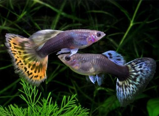 fisik ikan guppy