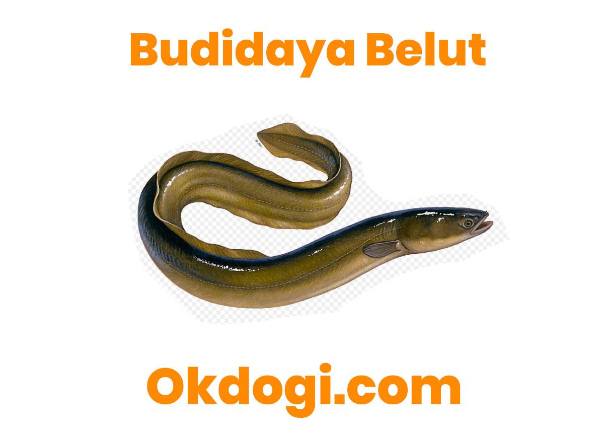 6 Kunci Cara Budidaya Belut, TERBUKTI SUKSES!