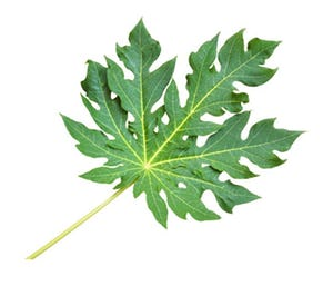 daun dan batang pohon pepaya
