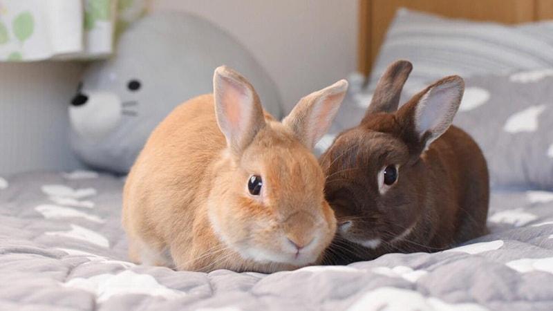 usia ideal kelinci