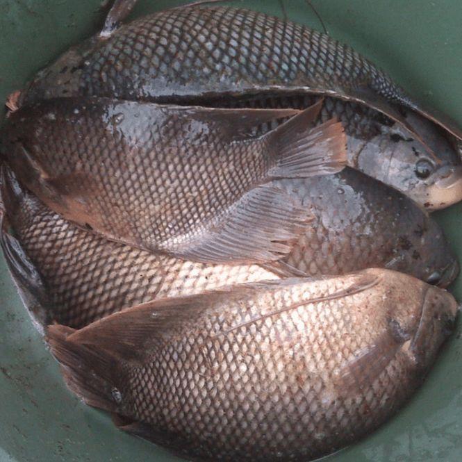 Harga Ikan Gurame Per Kilo Terbaru 2019 Update Terus