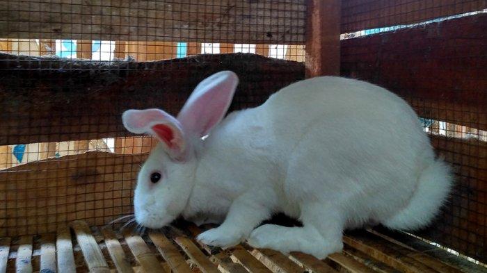 kelinci betina