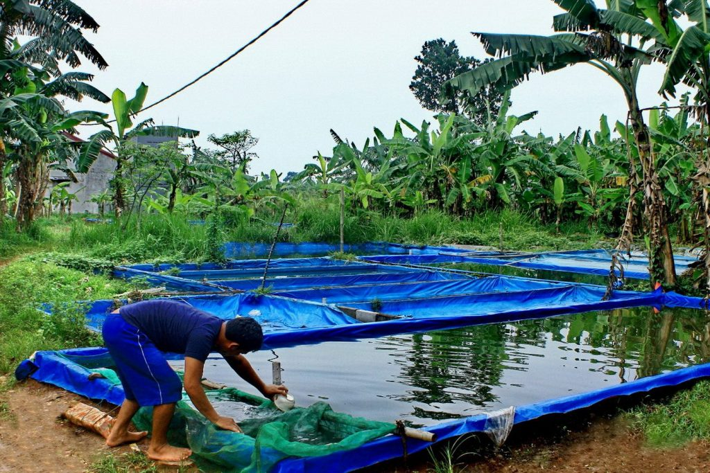 kolam terpal ikan gurame