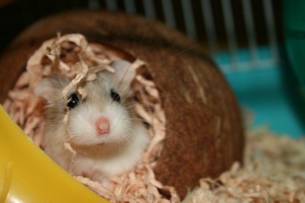 tips membeli hamster