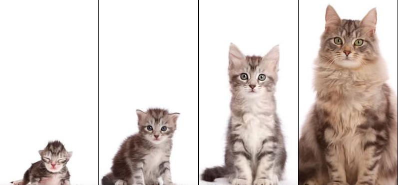 5 Step Sukses Cara Mengawinkan Kucing Joss