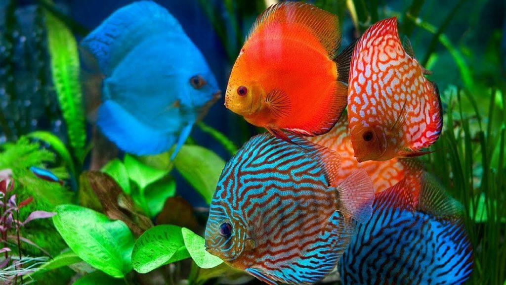 bentuk ideal ikan discus