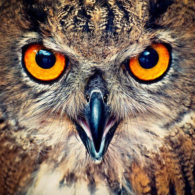 mata burung hantu