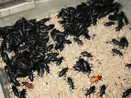 kumbang kepik induk ulat hongkong siap produksi