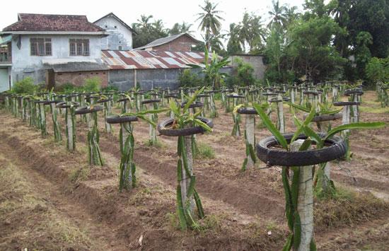 penyiapan lahan buah naga