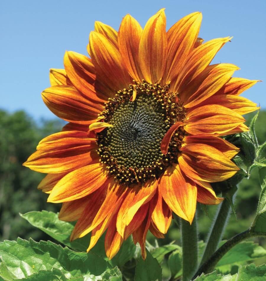 Autumn Beauty bunga matahari