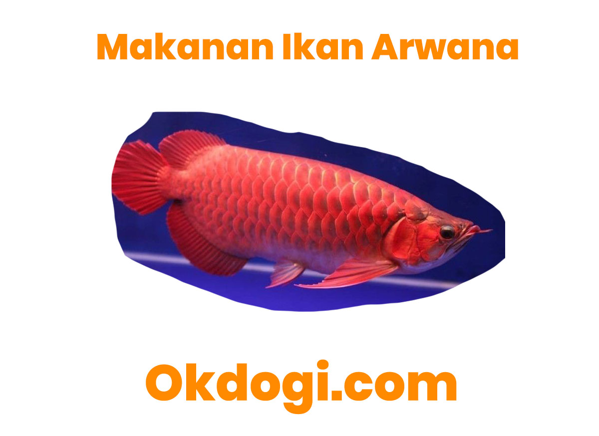 9 Menu Makanan Spesial Untuk Ikan Arwana