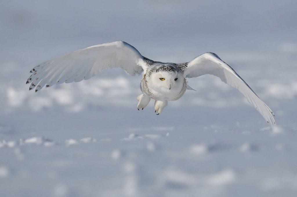 burung hantu salju