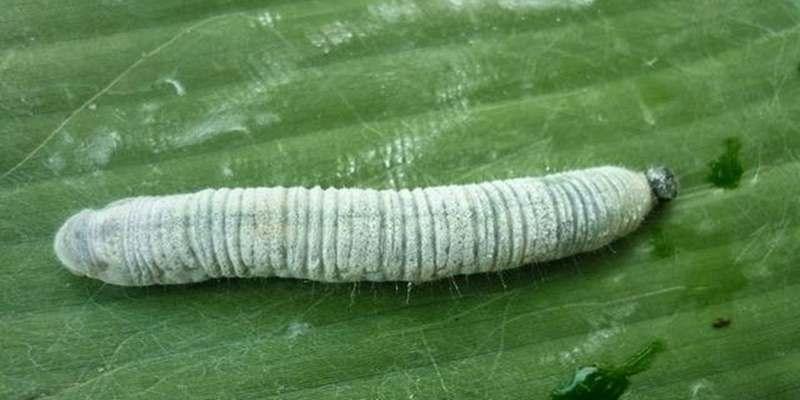 ulat daun pisang