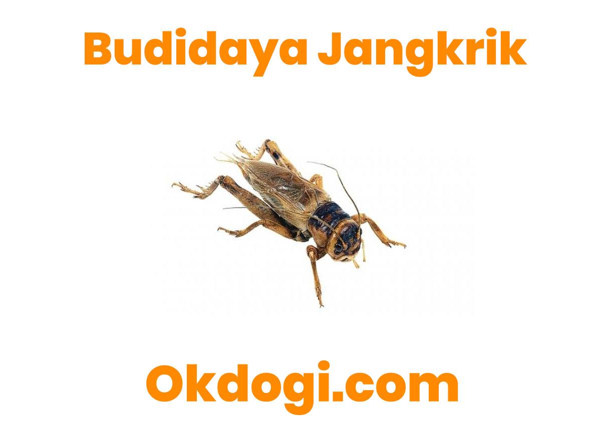 6 Kunci Cara Budidaya Jangkrik, TERBUKTI SUKSES!