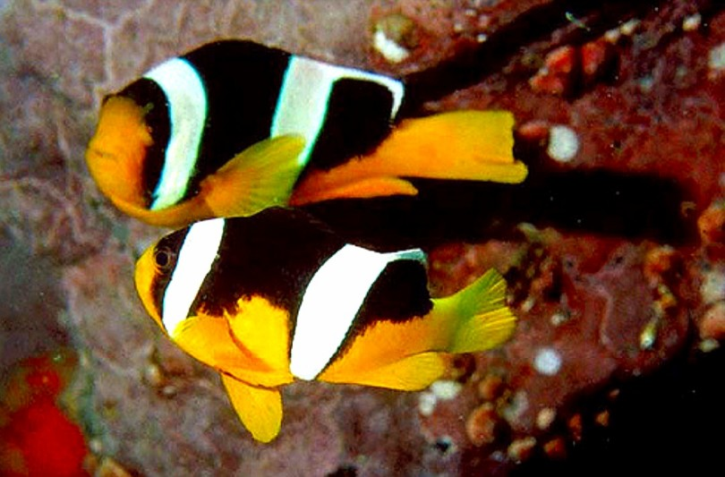 ikan nemo amphiprion sebae
