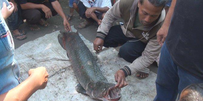 ikan arapaima di sungai brantas
