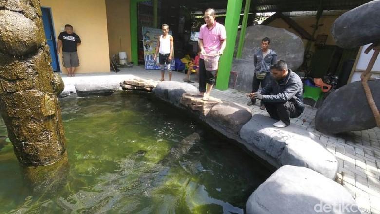 ikan arapaima milik Masudin