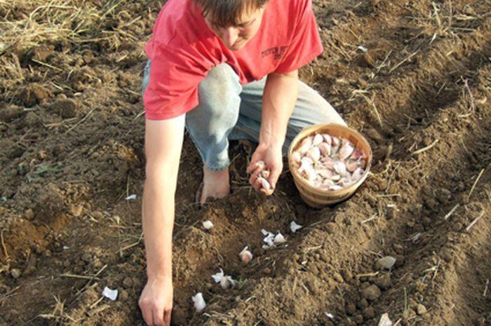 penanaman bawang putih