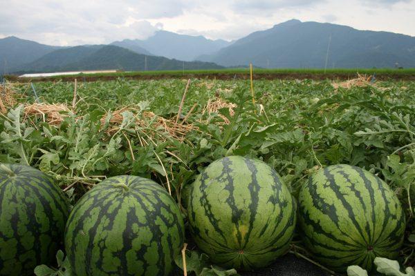 jarak tanaman semangka