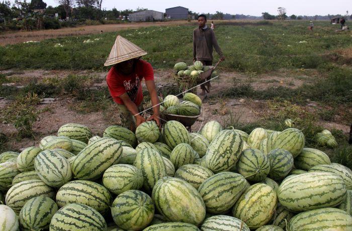 panen buah semangka