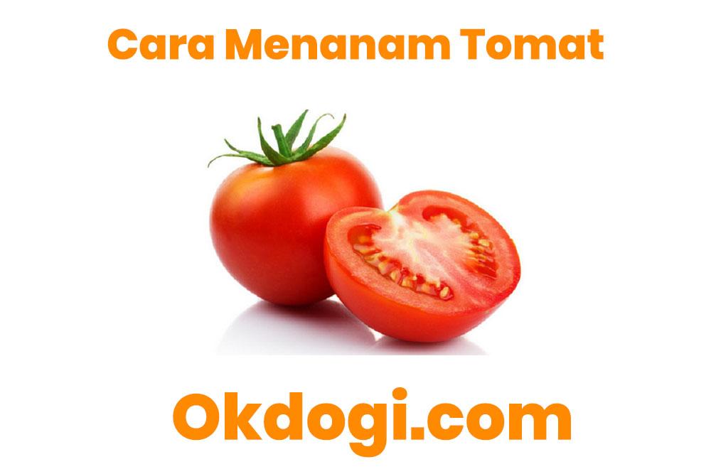 Cara Menanam Tomat Lahan Terbuka & Dengan Polybag