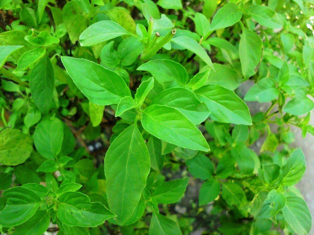 daun kemangi