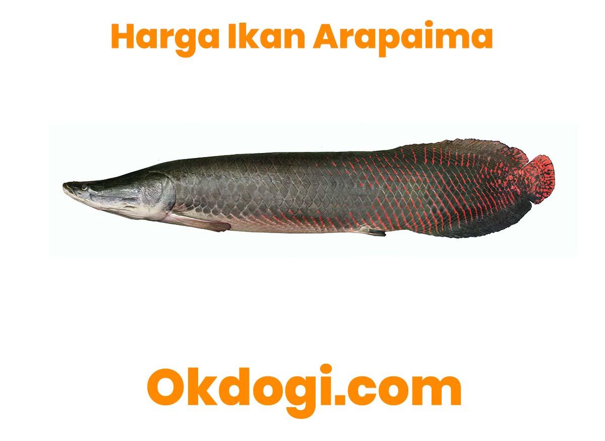 harga ikan arapaima