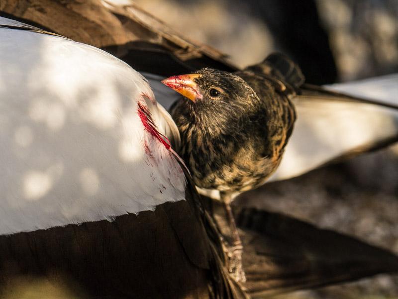 burung finch vampir