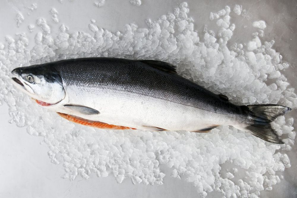 ikan salmon segar