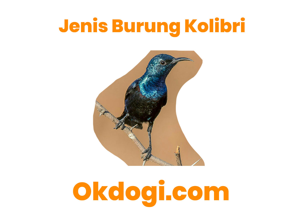 jenis burung kolibri