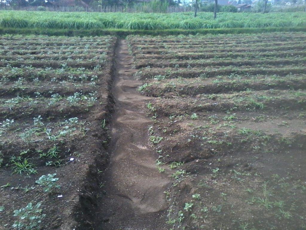 lahan untuk bawang
