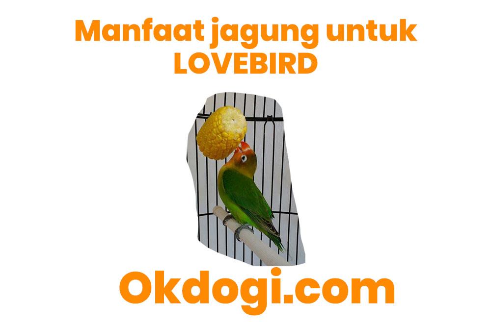 manfaat jagung untuk lovebird