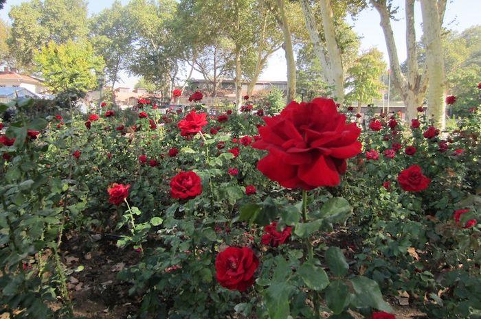 Harga Pasaran Bunga Mawar Terbaru 2019 Lengkap