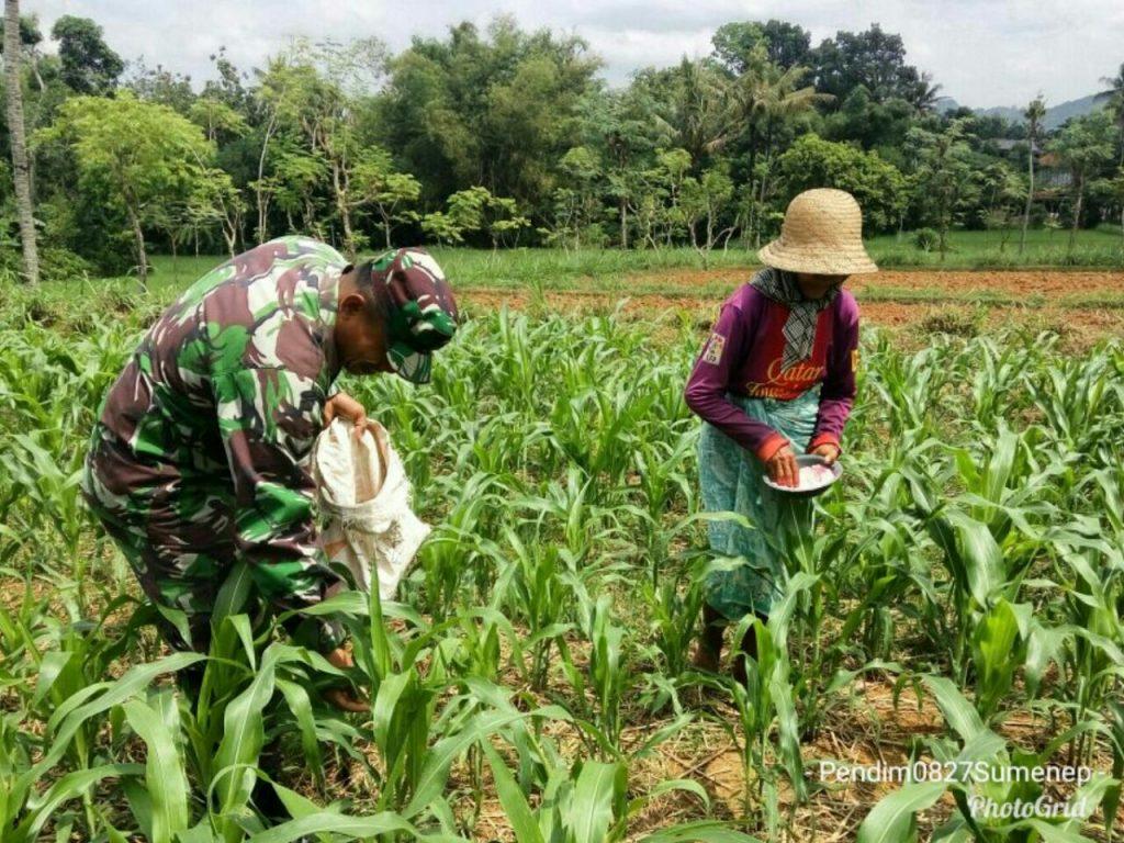 pemberian pupuk jagung