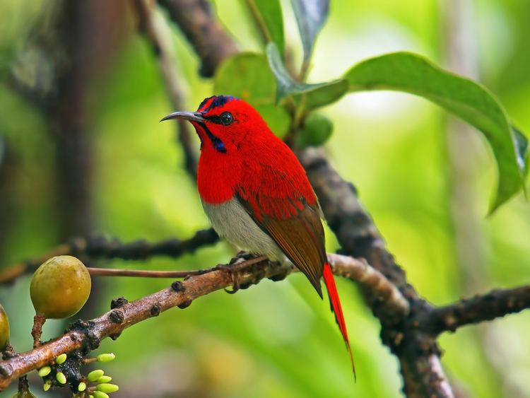 Jenis Varietas Burung Kolibri Tukang Ngoceh Silakan Baca