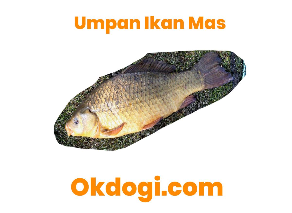 5 Racikan Umpan Pancingan Untuk Ikan Mas, JOSS!