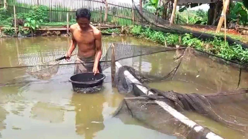 kolam tanah terbuka ikan patin