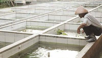 kolam semen tembok ikan patin