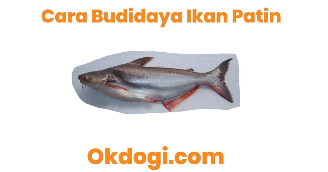 Cara Budidaya Ikan Patin Yang Sudah Terbukti Berhasil