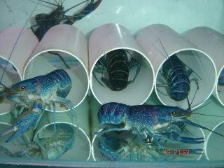 shelter untuk lobster