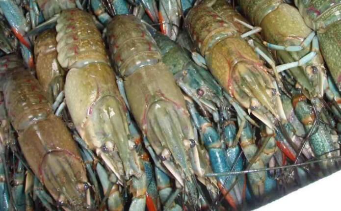 panen lobster air tawar