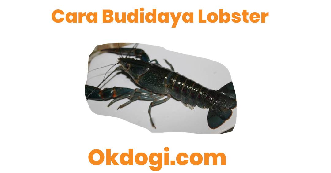 cara budidaya lobster