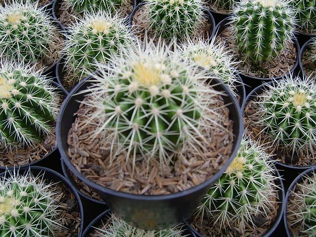 pupuk pada kaktus