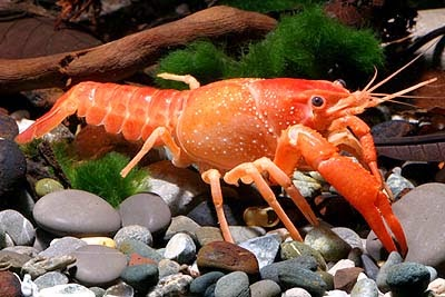 lobster ikan hias